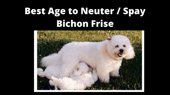 Best Age to Neuter / Spay a Bichon frise Dog