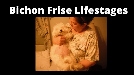 Life Stages of Bichon Frise Dogs