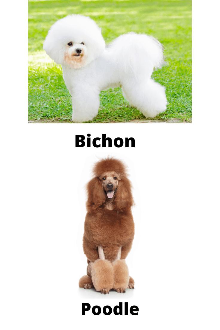 Bichon Vs Poodle