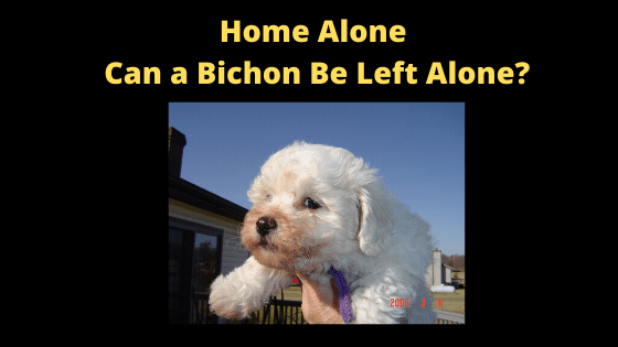 Can my Bichon Be Left Alone