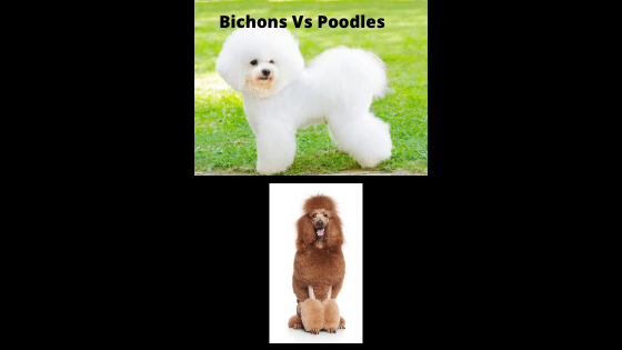 Are Bichon's Related to Poodles