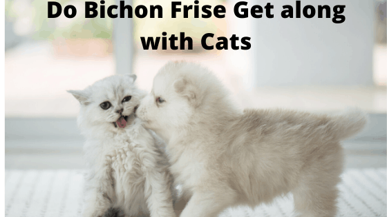 Does Bichon Frise Get along with Cats