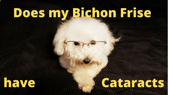 Does my Bichon Frise have Catarracts