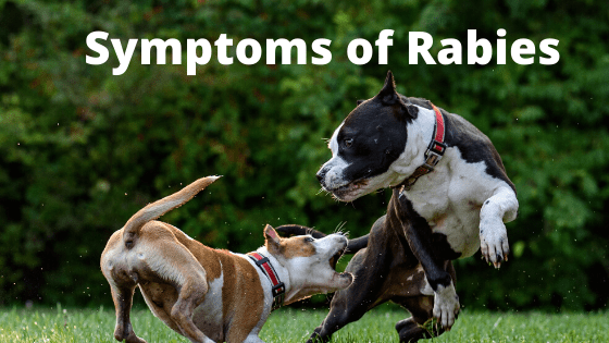 Symptons of Rabies in a Bichon Frise