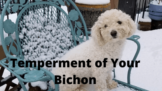 Temperment of Your Bichon Frise