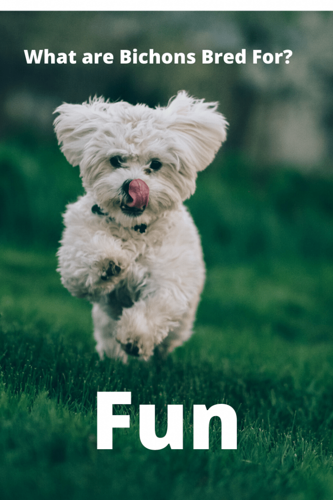 What are Bichons Bred For - Fun