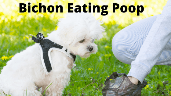 Bichon Frise Eating Poop