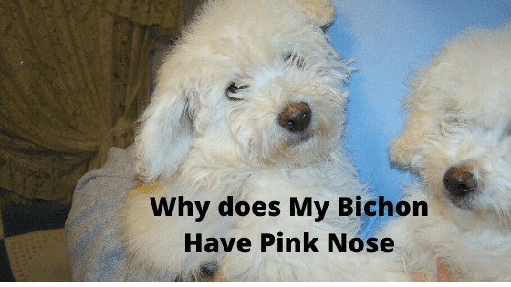 Bichon with Pink Nose