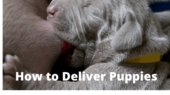 How to Deliver Puppies