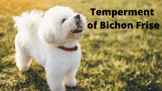 Temperment of Bichon Frise