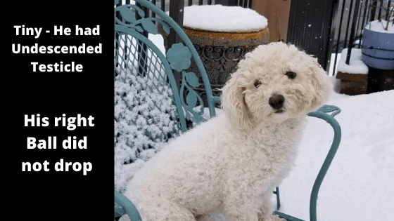 Bichon Frise with Undescended Testicle