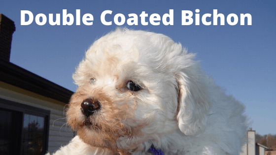 Are Bichons Hypoallergenic Dogs