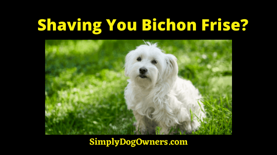 Shaving Your Bichon Frise