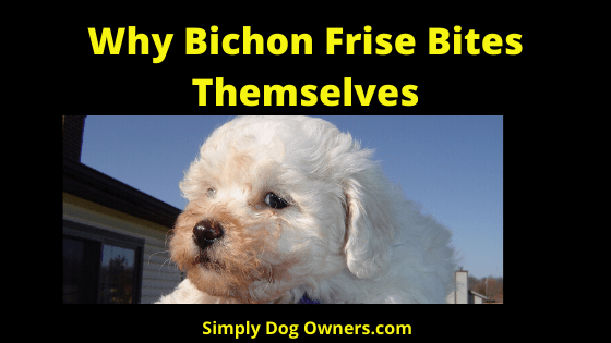 Why Bichon Frise Bite Themselves