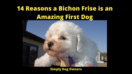 14 Reasons a Bichon Frise is an Amazing First Dog (1)