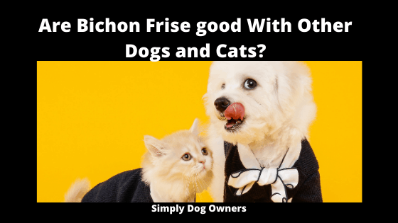 Are Bichon Frise good With Other Dogs and Cats_