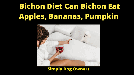 Bichon Diet Can Bichon Eat Apples, Bananas, Pumpkin (1)