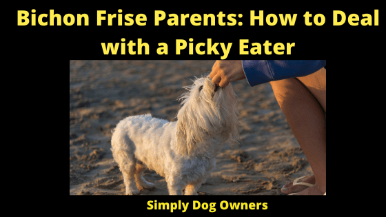 Bichon Frise Parents_ How to Deal with a Picky Eater