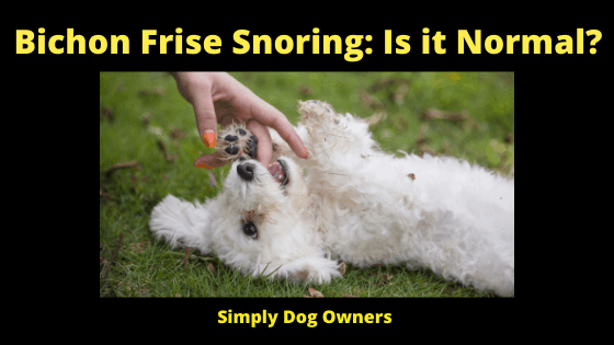 Bichon Frise Snoring: Is it Normal?