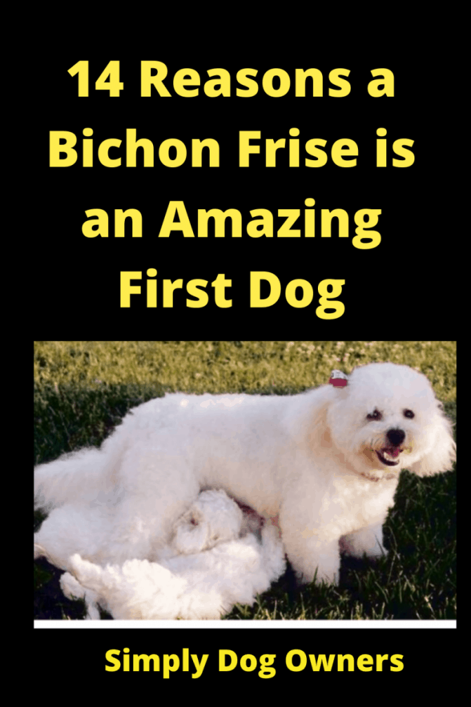 14 Reasons a Bichon Frise is an Amazing First Dog 1