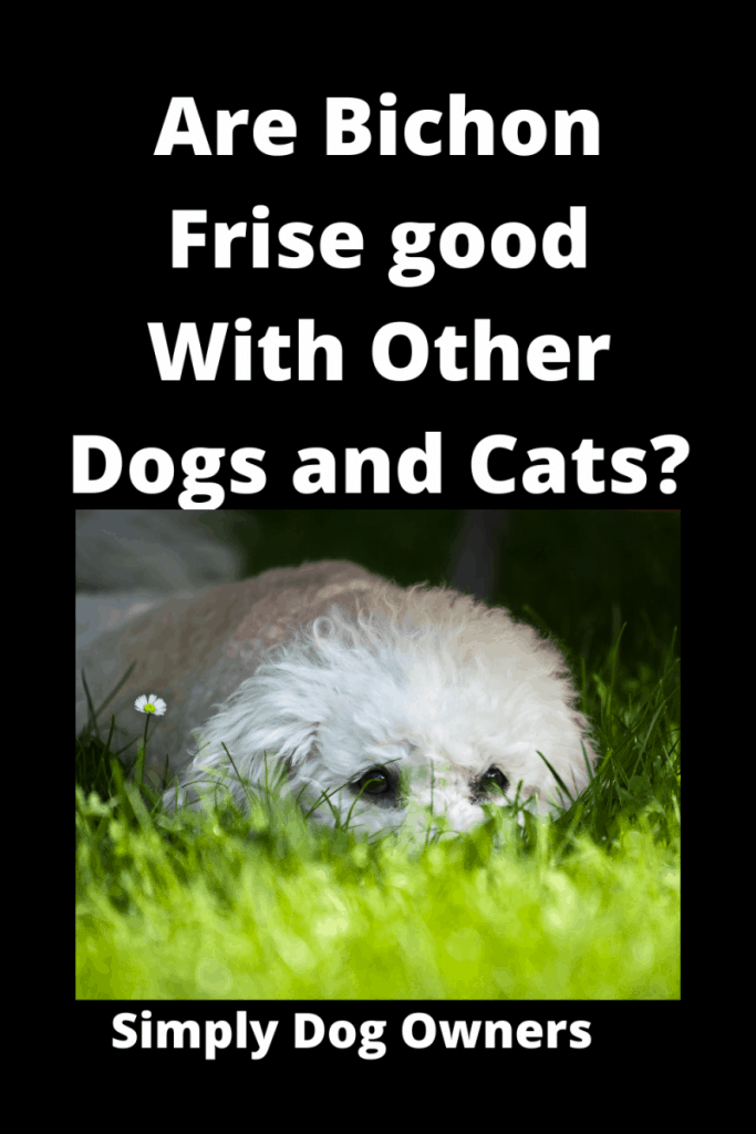 Are Bichon Frise good With Other Dogs and Cats? (4 Training Videos) 1