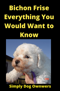 Bichon Frise Everything You Would Want to Know 3