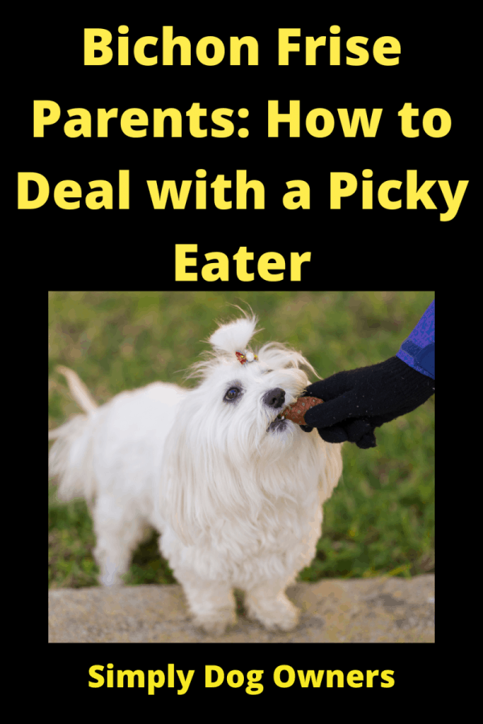 Bichon Frise Diet: How to Deal with a Picky Eater 1