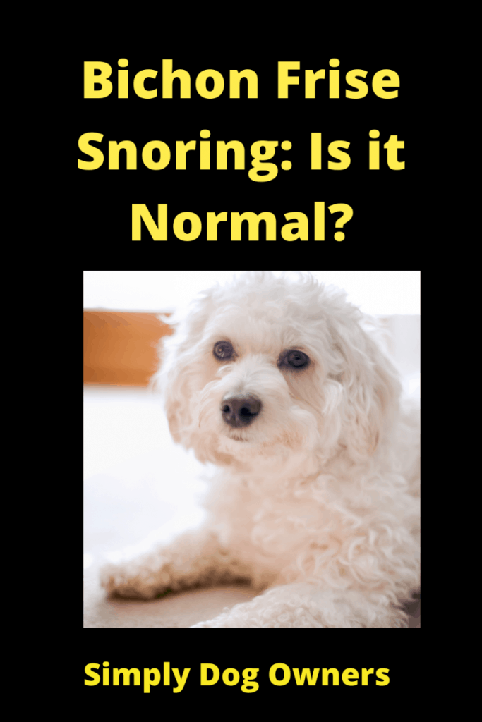 Bichon Frise Snoring: Is it Normal? 1