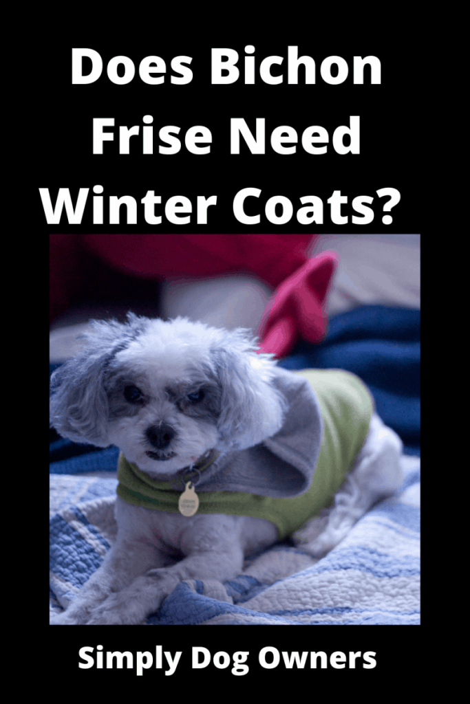 Does Bichon Frise Need Winter Coats? Cozy / What You Should Know 2