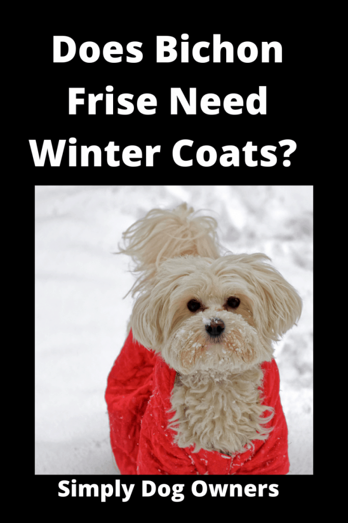 Does Bichon Frise Need Winter Coats? Cozy / What You Should Know 3