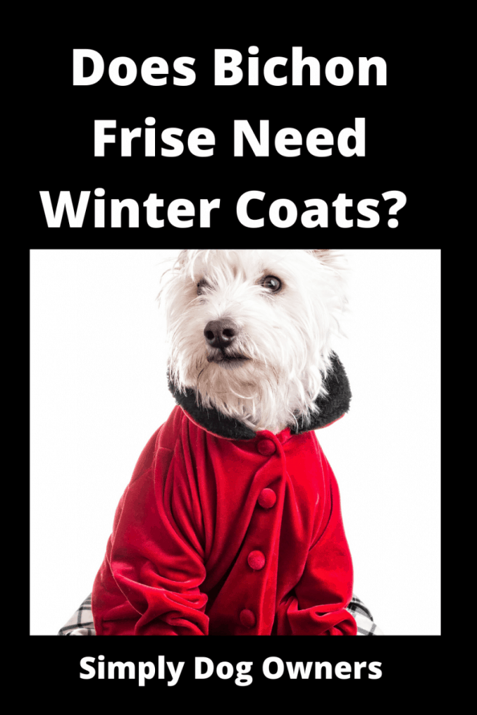 Does Bichon Frise Need Winter Coats? Cozy / What You Should Know 1