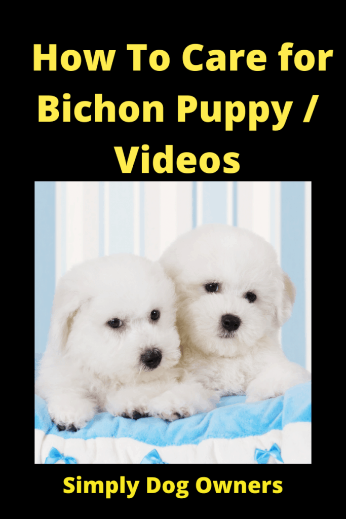 How To Care for Bichon Puppy / Videos 3