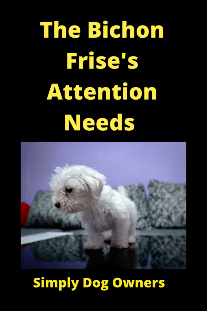 The Bichon Frise's Attention Needs: What You Must Know 2