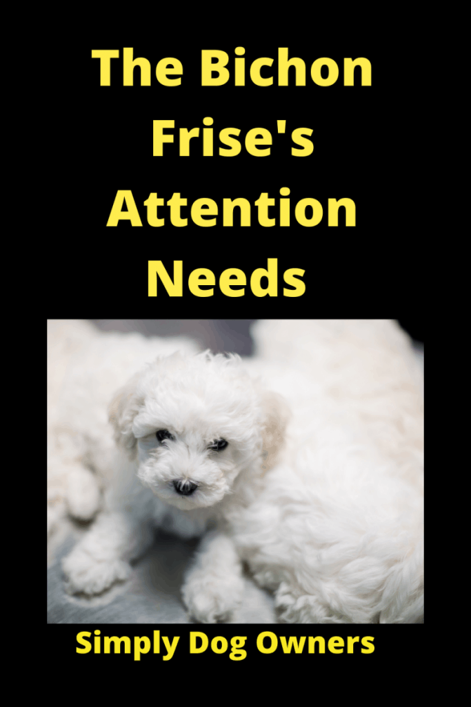 The Bichon Frise's Attention Needs: What You Must Know 1
