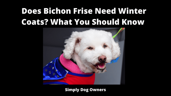 Does Bichon Frise Need Winter Coats_ What You Should Know