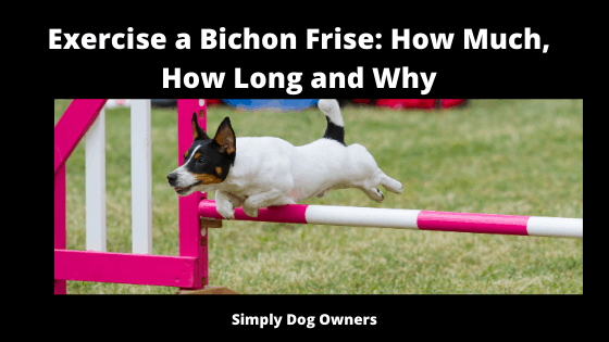 Exercise a Bichon Frise_ How Much, How Long and Why