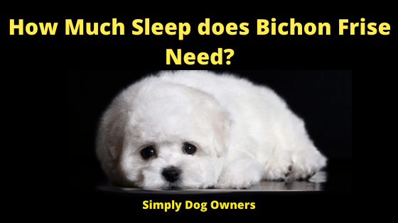 How Much Sleep does Bichon Frise Need?