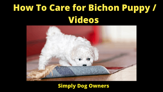 How To Care for Bichon Puppy _ Videos