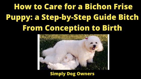 How to Care for a Bichon Frise Puppy: a Step-by-Step Guide Bitch From Conception to Birth