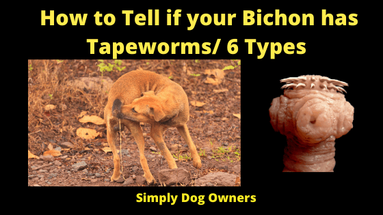 How to Tell if your Bichon has Tapeworms_ 6 Types