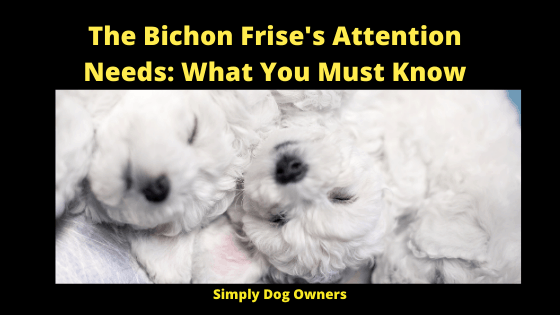 The Bichon Frise's Attention Needs_ What You Must Know