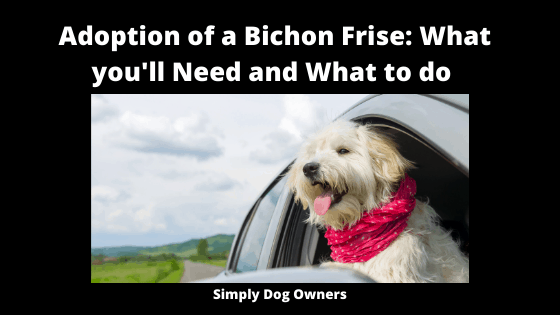 Adoption of a Bichon Frise_ What you'll need and what to do