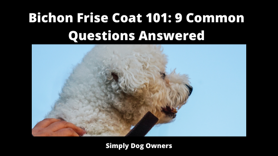 Bichon Frise Coat 101_ 9 Common Questions Answered
