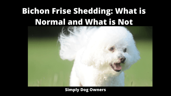 Bichon Frise Shedding_ What is Normal and What is Not