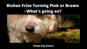 Bichon Frise Turning Pink or Brown - What's going on_