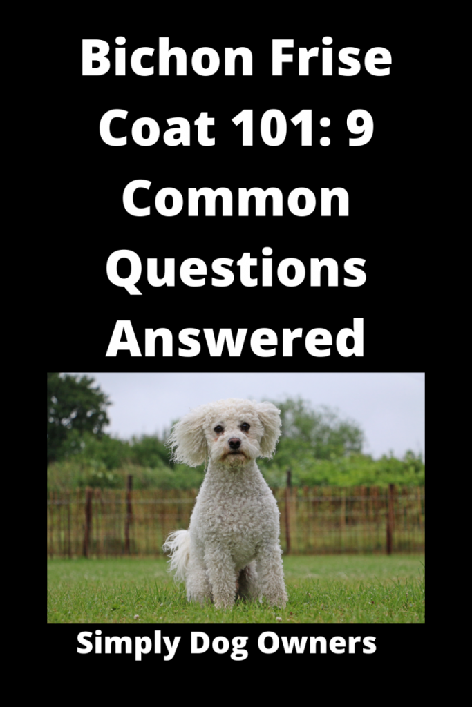 Bichon Frise Coat 101: 9 Common Questions Answered 2