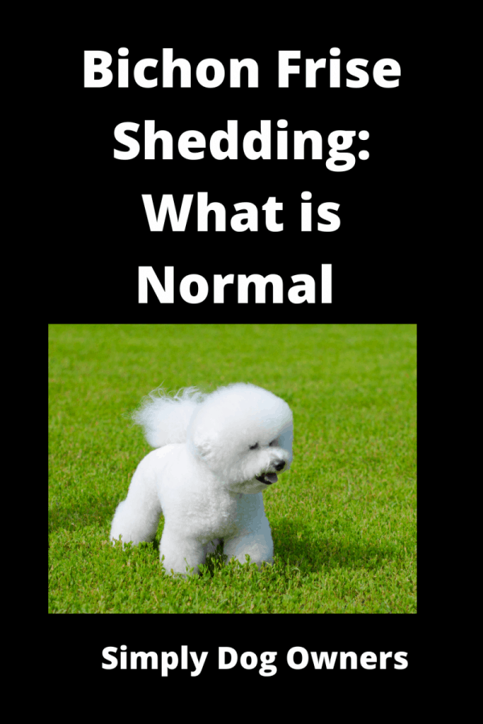 Bichon Frise Shedding: What is Normal and What is Not 2