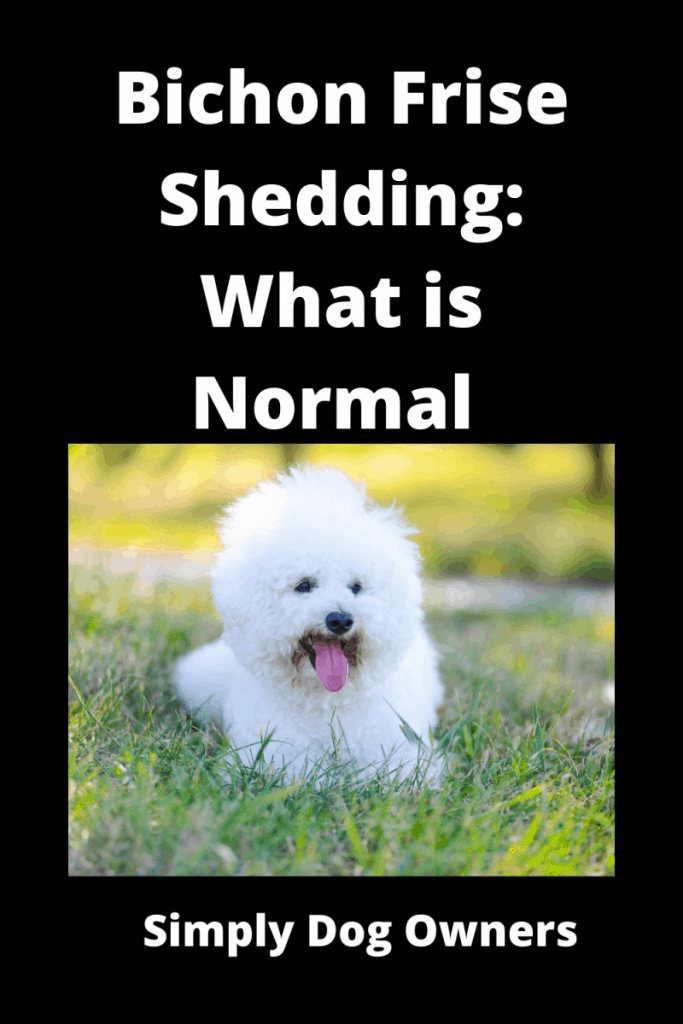 Bichon Frise Shedding: What is Normal and What is Not 3