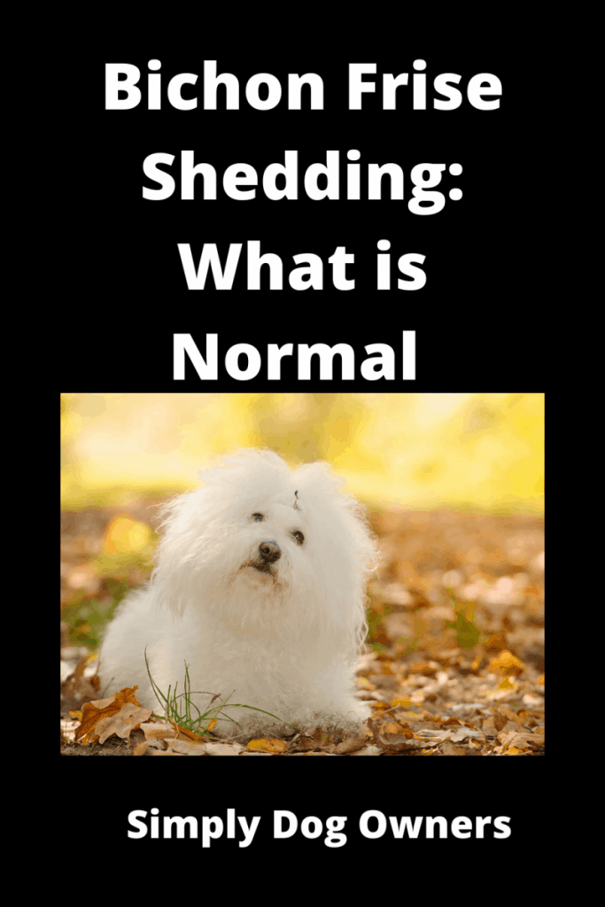 Bichon Frise Shedding: What is Normal and What is Not 1