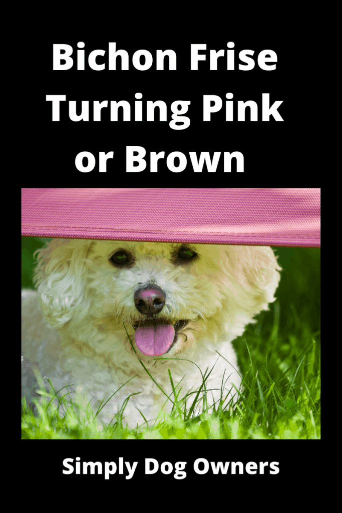 Bichon Frise Turning Pink or Brown - What's going on? 1